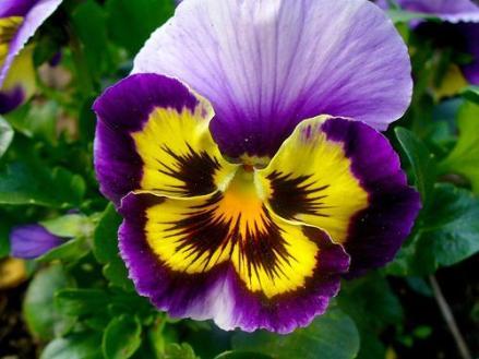 Pensamientos, flores de invierno y plantas de exterior resistentes al frío