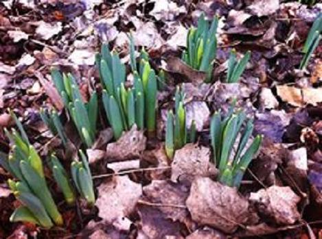 los narcisos en el jardin de pepe plana
