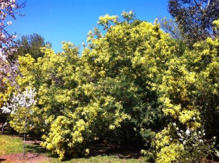 Cuidado con las mimosas 1