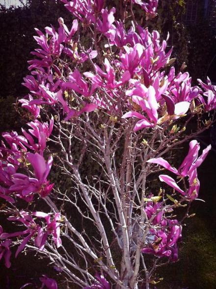 magnolios sin hojas