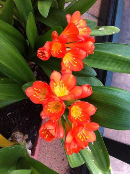 clivia en el Jardin de Pepe Plana