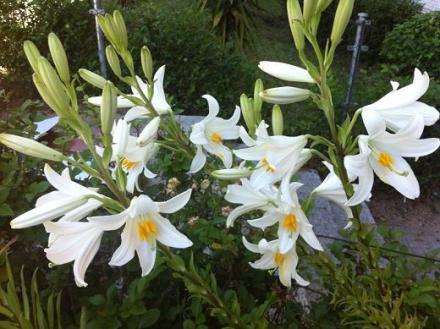 Lilium en el Jardin de Pepe Plana