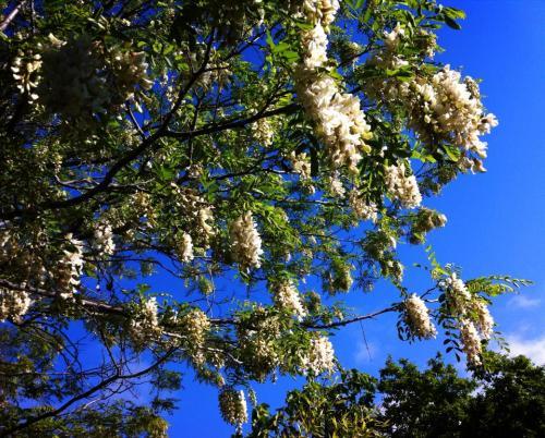 Robinia 2 en el Jardin de pepe plana