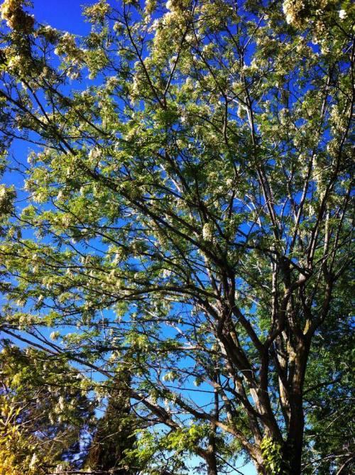 robinia 3 en el jardin de Pepe Plana