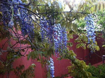 wpid-glicinia1-en-el-jardín-de-pepe-plana.jpg.jpeg